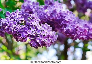 Branch of lilac flowers - Branch of lilac flowers, shallow...
