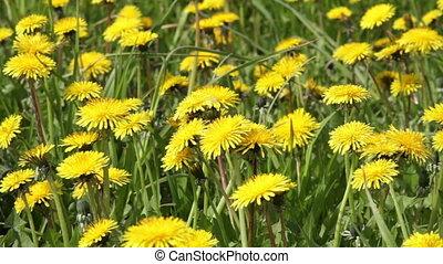 Dandelions - blooming yellow dandelions