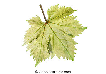 Grape leaf - Single perfect beautiful grape leaf and stem...