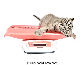 baby white tiger on weight scale
