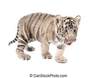 baby white tiger - baby white bengal tiger isolated on white...