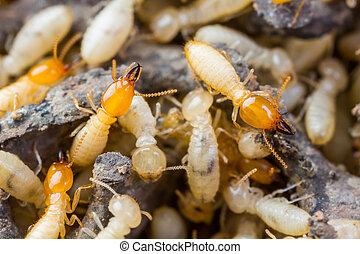 Termite or white ants - Close up termites or white ant on...