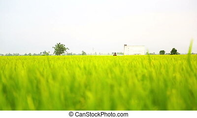 Watering Paddy Field