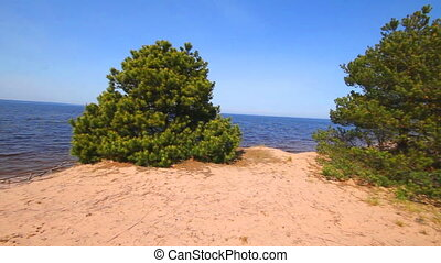 Pine trees on the dunes of the coast