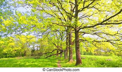 Green oak tree - summer old huge oaks