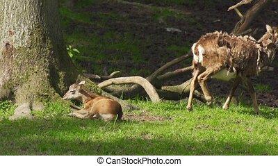 European mouflon - Ovis orientalis musimon