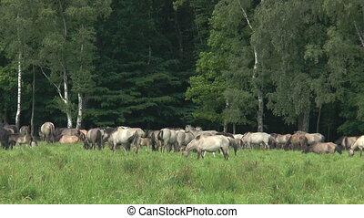 herd of wild living horses