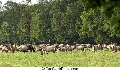 large herd of horses grazing