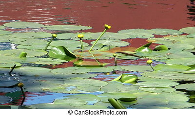 yellow water lilies (nuphar lutea) budding