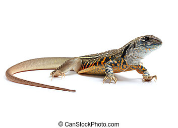 Butterfly Agama Lizard isolated on white background