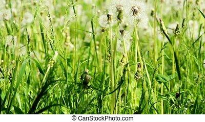 Dandelions dolly shot - HD1080: Dandelions in the meadow....