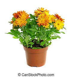 Orange chrysanthemum in a pot isolated on white background