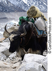 Domestic nepalese yak with swastika symbol,Himalaya...