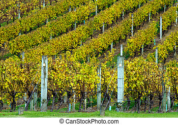 Autumn Season - Vineyard during the autumn fall season