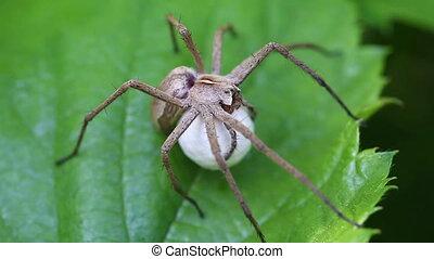 Nursery web Spider - Cocoon - Nursery web Spider - Pisaura...