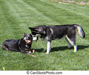 Two dogs playing - Blue Heeler and Husky playing on green...