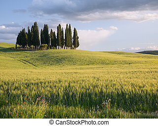 Group of cypress trees at dusk - Group of cypress tree in...