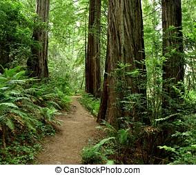 excursionismo, Trayectoria, por, secoya, bosque, 773A