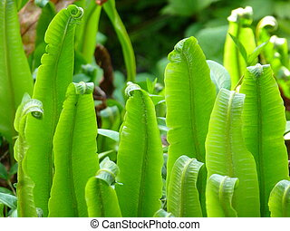 Hart's Tongue Fern - Green leaves / fronds with curled tips...