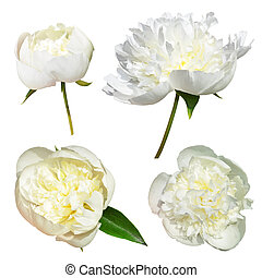 Flowers white peonies - Isolated white peonies flowers on a...