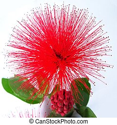 Calliandra haematocephala - Very Sharp petals red flower in...