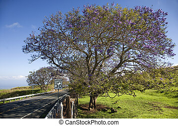 Road with Jacaranda tree in Maui - Road with Jacaranda tree...