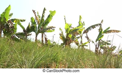 Banana Plant - video footage of banana plants in the desert,...