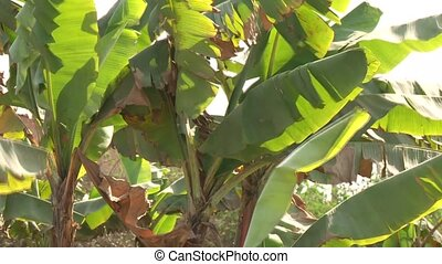 Banana Plant - banana plants in the desert, Lima, peru