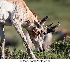 Pronghorn - Close up of a pronghorn in Yellowstone.