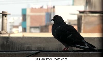 Dove at a rooftop in a city, Peru