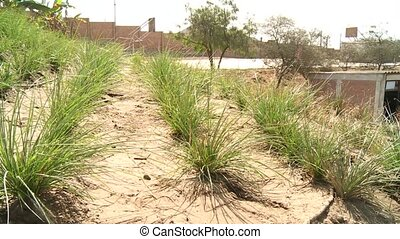 Vetiver Gras in Desert - Vetiver-Gras plants