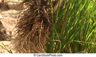 Root Out Vetiver Grass in Desert