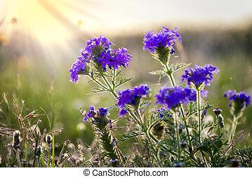 pradera, verbena, wildflowers