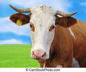 ciekawy, krowa, portret