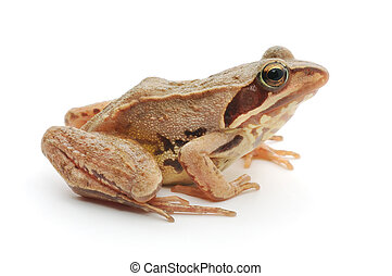 Brown frog - Small brown frog isolated on white background