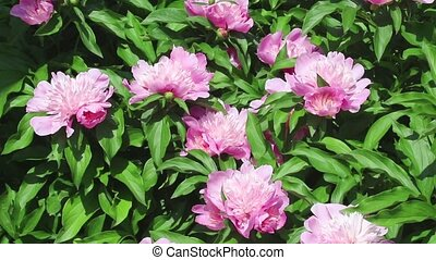 Group of pink flowers of peony on light wind in sunny day on...
