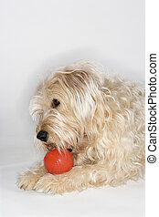Dog playing with red ball.