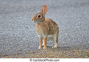 A young Bunny Rabbit standing on a country road.