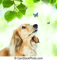 Dachshound with blue butterflies - Long hair Dachshund...