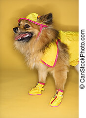 Dog wearing rain gear. - Brown Pomeranian dog wearing rain...
