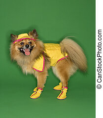 Dog wearing rain gear - Brown Pomeranian dog wearing rain...