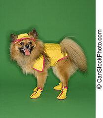 Dog wearing rain gear. - Brown Pomeranian dog wearing rain...