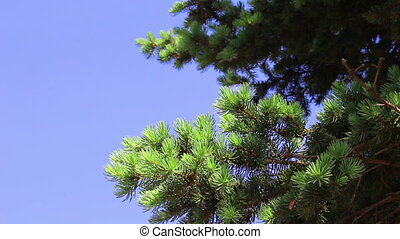 Branchs of young green fir-tree