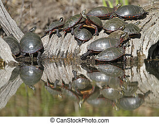 Thirteen Midland Painted Turtles (Chrysemys picta marginata)...