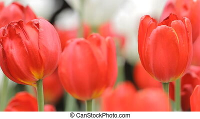 Tulips in the park - Red Tulips in the park. Tripod panning...