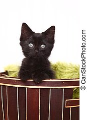 Curious Cute Kitten Inside a Basket on White
