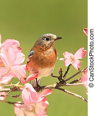 Bluebird with Dogwood flowers - Female Eastern Bluebird...