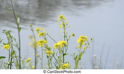 Rape blossoms which bloom to the waterside