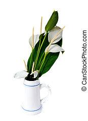 bianco, fenicottero, fiore,  (anthurium)