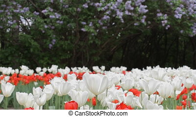 Tulips in the park - Red and White Tulips and Lilac in the...